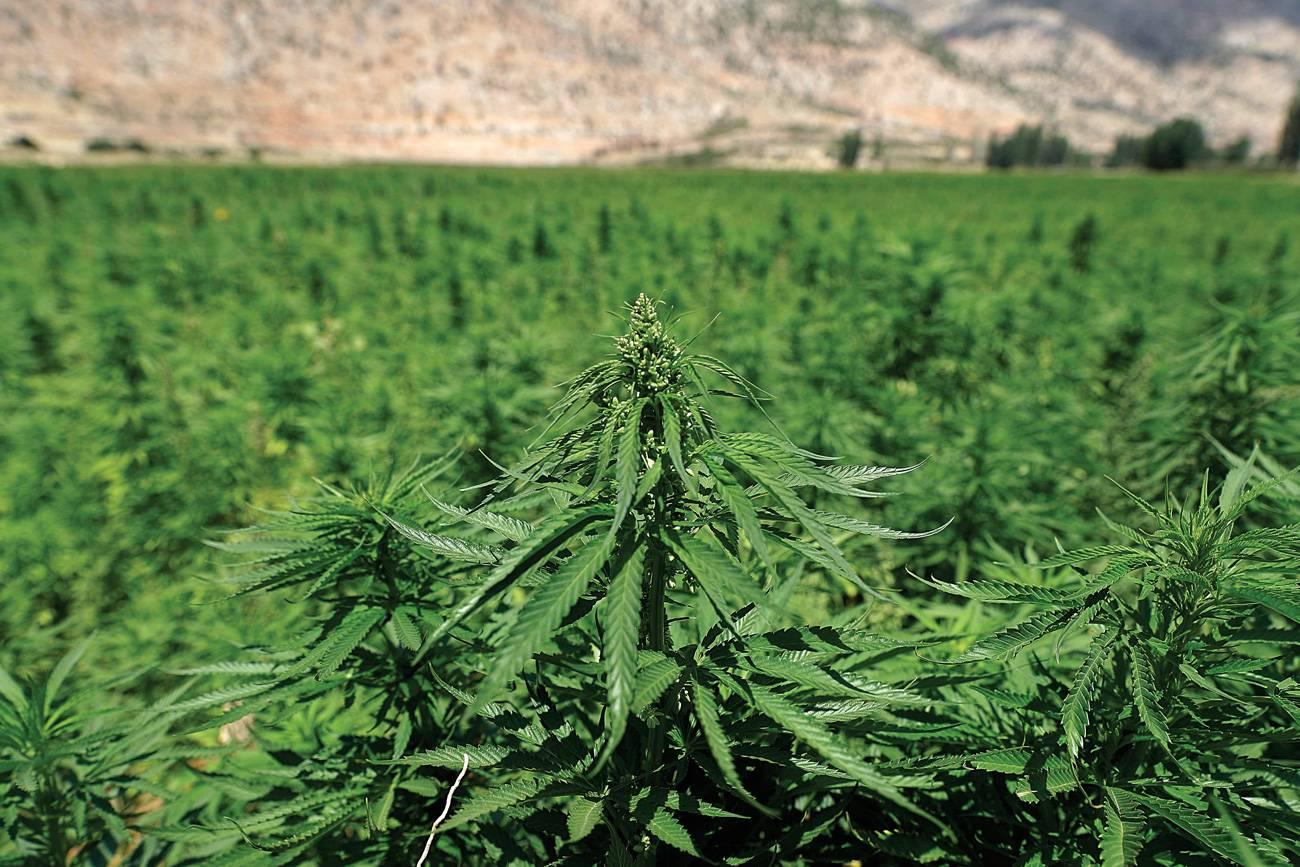 Cannabis médical : les investisseurs dans l'expectative