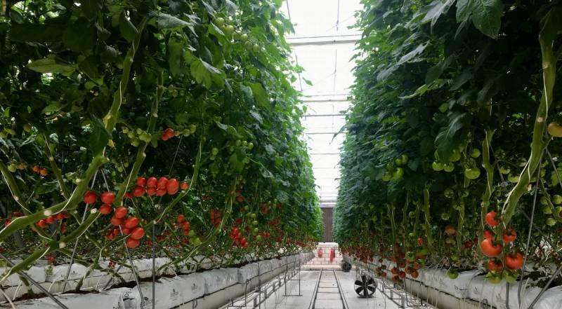 Chez Cedar Greens, tous les légumes sont cultivés grâce à un appui technologique dans cette nouvelle ferme hydroponique